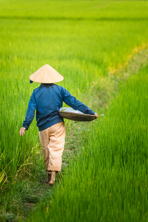 Rice Paddy - Hoi An